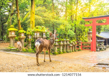 Wild deer in Nara Park in Japan. Deer are symbol of Nara's greatest tourist attraction. On background, red Torii gate of Kasuga Taisha Shine one of the most popular temples in Nara City.