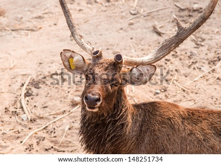 Wild deer male [Hog deer] during summer at Khao Kheow open zoo in Thailand.