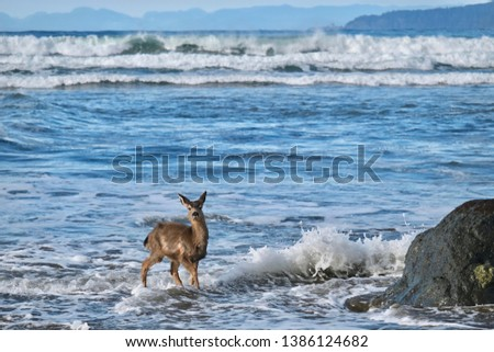 Wild deer on the beach playing in waves. Pacific coast. Olympic peninsula. Olympic National Park. Washington. United States of America