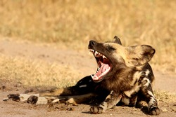 Wild dog in Sabi Sand game reserve, South Africa