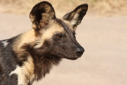 Wild dog in South Africa