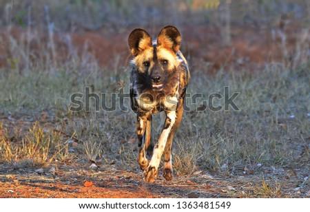 Wild Dog in the wild