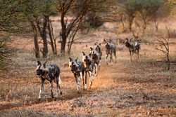Wild dogs hunting.  Aka African painted dogs, painted wolves, African hunting dogs. Picture taken as the dogs hunt in a pack.  A game reserve situated in the North West Province of South Africa.