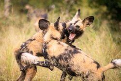 Wild dogs in The Kruger National Park, South Africa