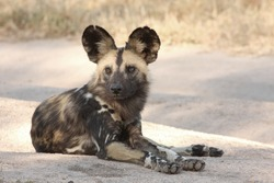 Wild dogs (painted) in Sabi Sand, South Africa