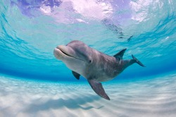 Wild dolphin looking and swimming in shallow water towards the camera in Grand Cayman