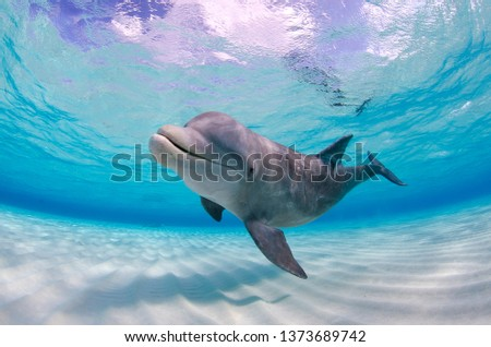 Wild dolphin looking and swimming in shallow water towards the camera in Grand Cayman Photo stock ©