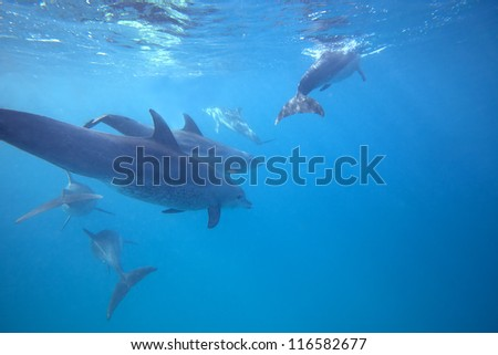 Wild Dolphins swimming in blue ocean in Zanzibar
