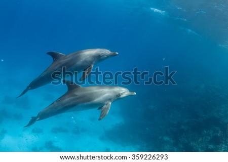 Wild dolphins underwater. Sealife marine animals design template.
