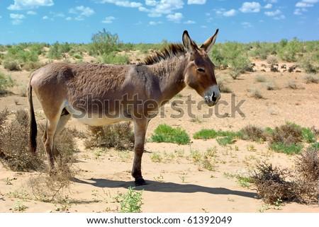Wild donkey in the dessert