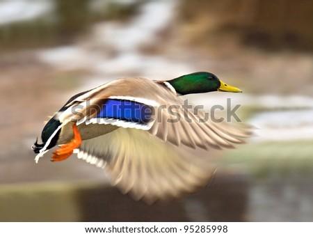 Wild-duck