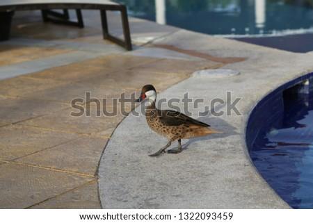 Wild duck am Pool