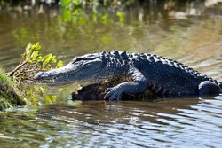 Wild duck and alligator in the florida mangrove forest