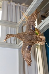 Wild Duck Bird in Flight Taxidermy Trophy