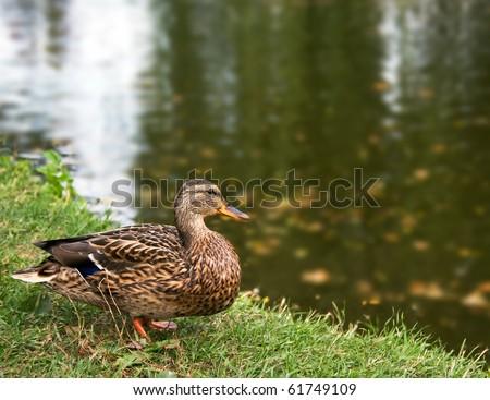wild duck bird on a coast of autumn lake