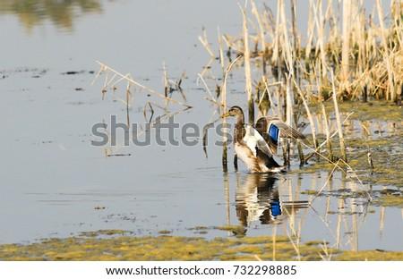 wild duck drake on the water autumn #732298885