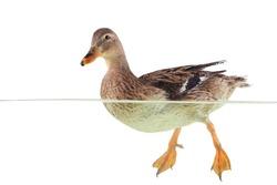 wild duck floats on water
