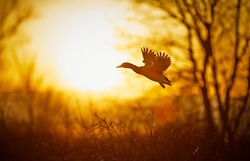 Wild duck flying at sunset. The action of birds while silhouette.