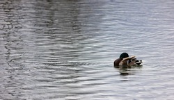 Wild duck Mallard in the lake. Duck cleans feathers.