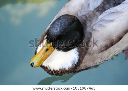 Wild duck or mallard (Anas platyrhynchos) in lake