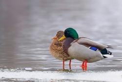 Wild duck pair on ice in winter time (Anas platyrhynchos)