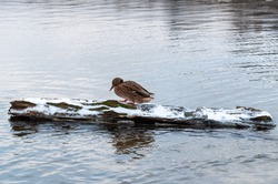 Wild duck standing on a log in the water in winter