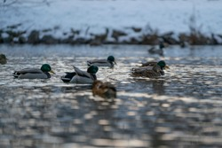 Wild ducks floating on the pond in  winter.