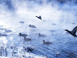 Wild ducks flying in the winter