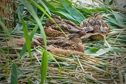 Wild ducks in nest, small mallards family.
