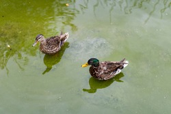Wild ducks in the pond. Couple of cute ducks floating together in green water. Birds couple. Duck family.
