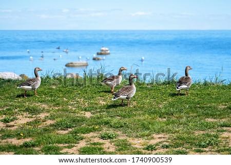 Wild ducks Mallard Anas platyrhynchos standing on the shore, female wild duck outside. Sweden