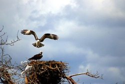 Wild Eagle flying and preparing to land in eagles nest