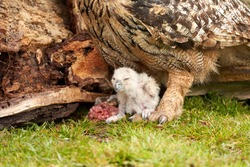 Wild Eagle Owl mother and a chick. The one week old white owl is still unstable on its feet in the grass. The prey, a red piece of meat, lies on the ground, Close up