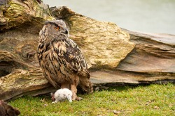 Wild Eagle Owl mother and a white chick. The one week old white owl stands at the legs of the large bird of prey