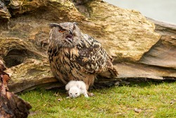 Wild Eagle Owl mother and a white chick. The one week old white owl stands at the legs of the large bird of prey. Beak open