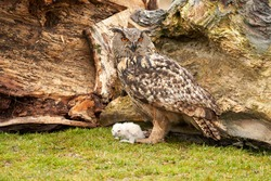 Wild Eagle Owl mother and a white chick. The one week old white owl stands at the legs of the large bird of prey.