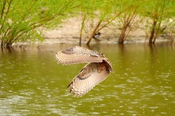 Wild Eagle Owl, the bird of prey flies with spread wings over a green lake. Looking for prey in the water. Sandy beach with grass in the background