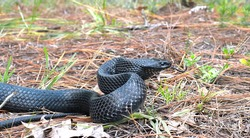Wild eastern Indigo snake (Drymarchon couperi) slithering right, tongue out, long leaf pine needles, black scales, head and eye detail, sandhill scrub habitat in central Florida