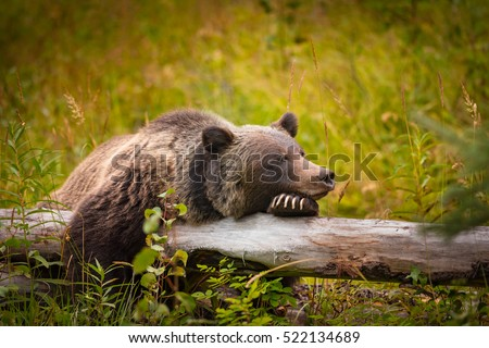 Wild Eastern Slopes Grizzly bear taking a rest in a mountain forest in summer Banff National Park Alberta Canada