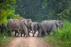 Wild elephant family from Kui Buri National Park