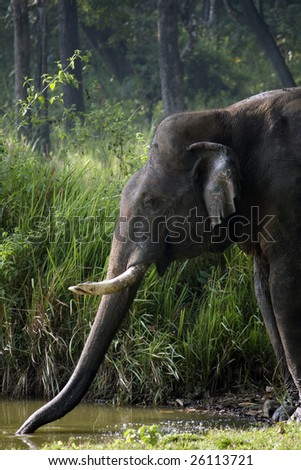 wild elephant gulping water from a pond in the middle of the forest