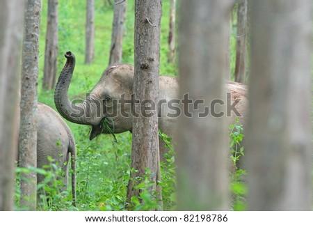 Wild elephant lifted proboscis, Kuiburi national park, Thailand
