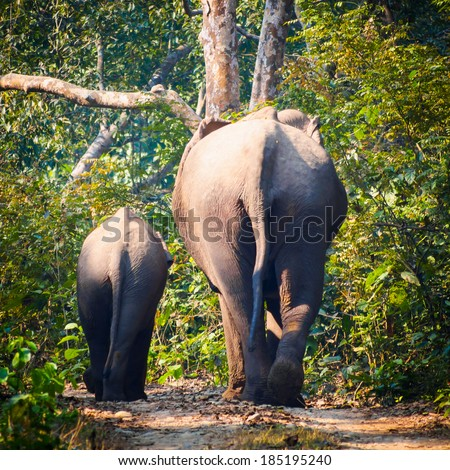 Wild elephants (from herd of about 17) walk along a track in Bardia National Park, Nepal