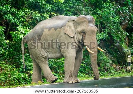 Wild elephants walk alone on the road