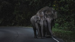 wild elephants walking on the road, Khao Yai National Park, Thailand, wildlife living in the forest with the road for travel, eco-tourism and natural wild watching in wildlife animals