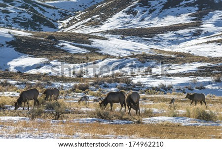 Wild Elk and Antelope grazing on the plains of Yellowstone in Winter