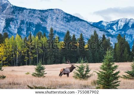 Wild Elk in Banff National Park