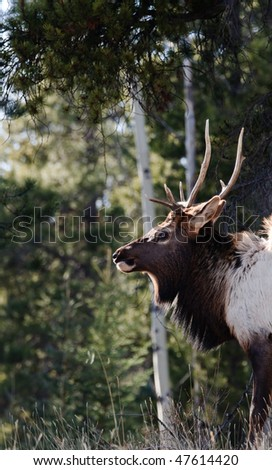 Wild Elk in Banff National Park Alberta Canada