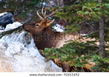 Wild Elk in Banff National Park Alberta Canada