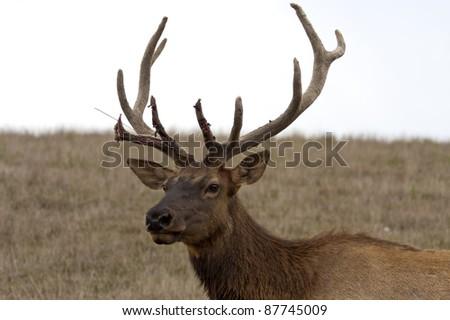 wild elk shedding velvet late summer close up #87745009